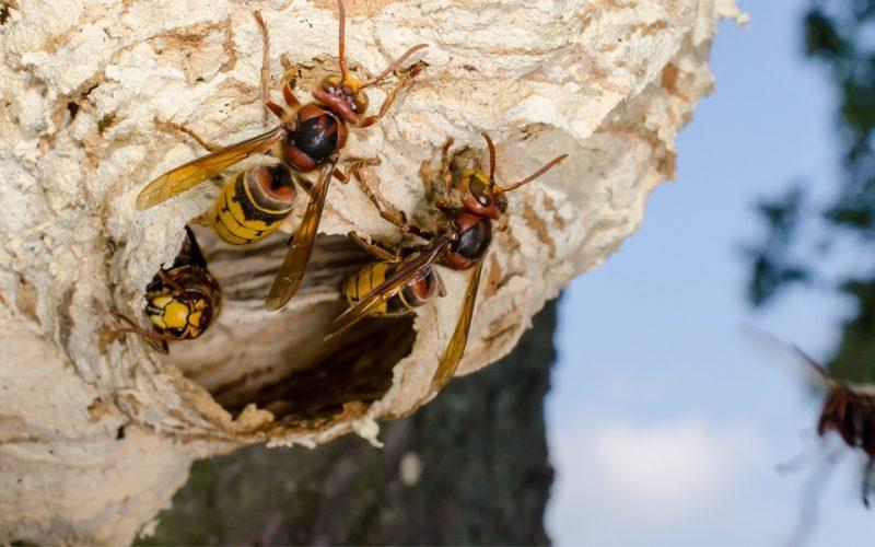 Entreprise destruction nids de frelons et guepes calvados